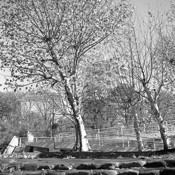 多摩市の冬のプラタナス_c0182775_1617847.jpg