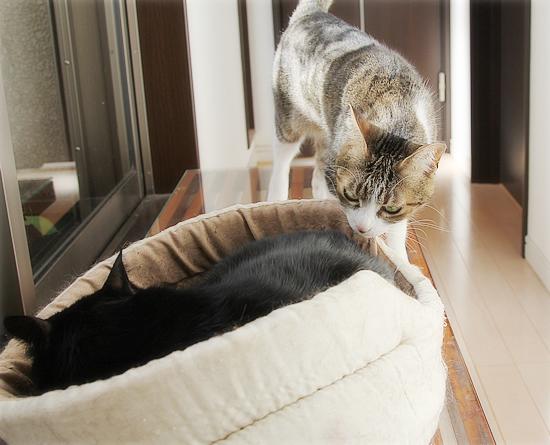 猫カフェ、プレオープン_a0389088_05071017.jpg