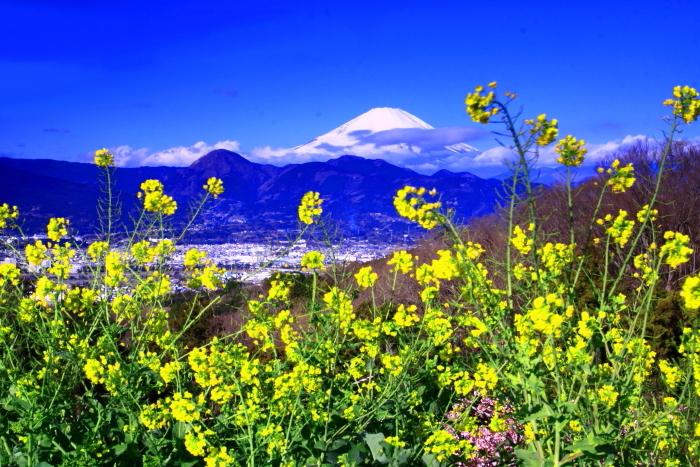 令和2年2月の富士 (27) おおい夢の里の菜の花と富士_e0344396_22414863.jpg