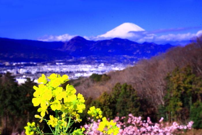令和2年2月の富士 (27) おおい夢の里の菜の花と富士_e0344396_22414886.jpg