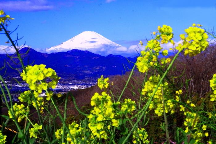 令和2年2月の富士 (27) おおい夢の里の菜の花と富士_e0344396_22414977.jpg