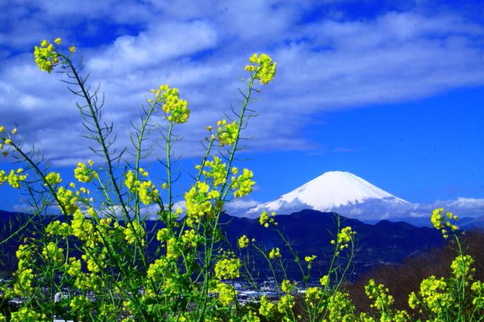 令和2年2月の富士 (27) おおい夢の里の菜の花と富士_e0344396_22414982.jpg