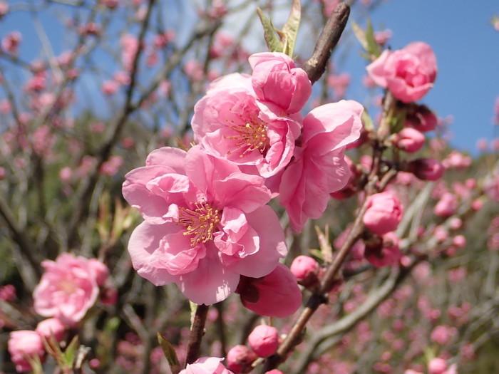 桃の花_c0116915_00254451.jpg