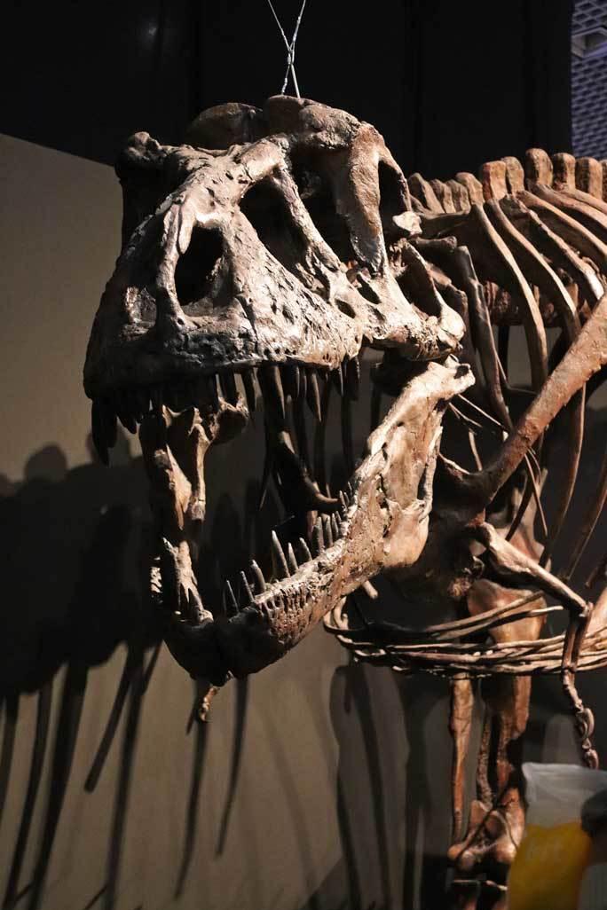 恐竜博2019~ティラノサウルス「スコッティ」とK/Pg境界_b0355317_18561940.jpg