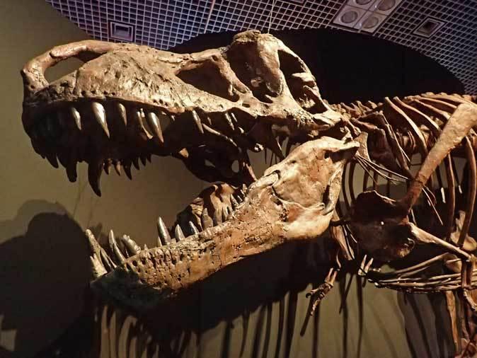 恐竜博2019~ティラノサウルス「スコッティ」とK/Pg境界_b0355317_19014703.jpg
