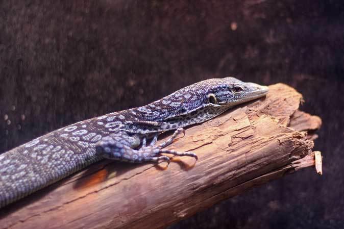 アクアパーク品川~アクアジャングルの両生爬虫類 その2_b0355317_20274606.jpg