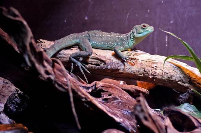 アクアパーク品川~アクアジャングルの両生爬虫類 その2_b0355317_20312732.jpg