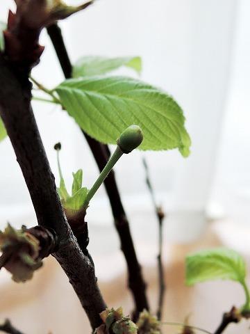桜のカホリ_c0062832_16184901.jpg