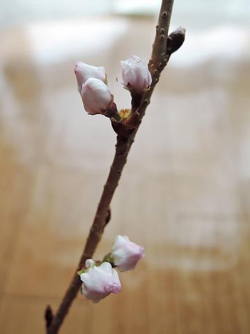 桜のカホリ_c0062832_16184975.jpg