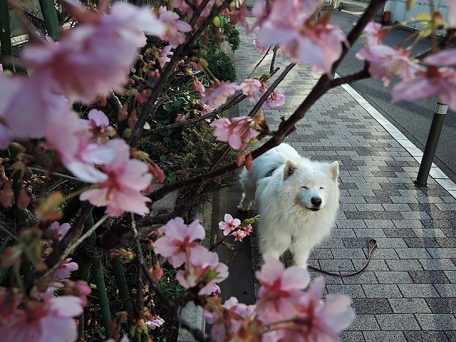 桜のカホリ_c0062832_16354009.jpg