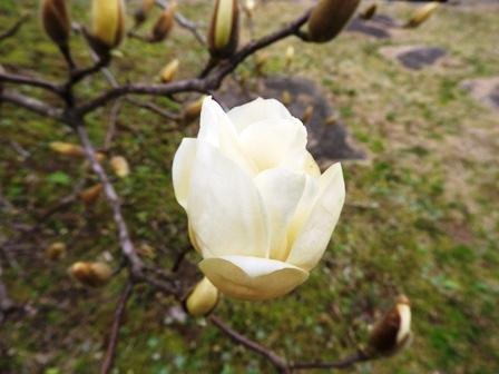 ハクモクレンの開花/桜のつぼみは…_a0123836_14472961.jpg