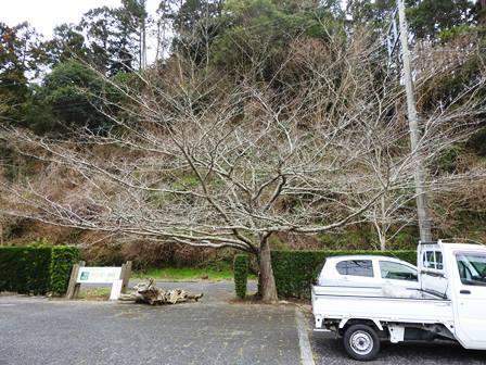 ハクモクレンの開花/桜のつぼみは…_a0123836_14473327.jpg