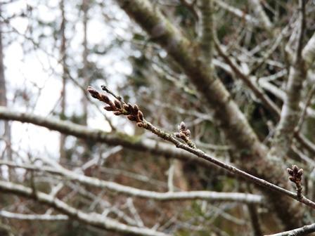 ハクモクレンの開花/桜のつぼみは…_a0123836_14473794.jpg