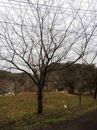 ハクモクレンの開花/桜のつぼみは…_a0123836_14514335.jpg