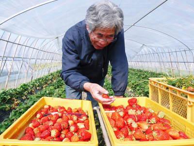 熊本産高級イチゴ『完熟紅ほっぺ』2020年はレギュラーパック3月末発送分、平積みパック4月中旬まで!_a0254656_17284428.jpg