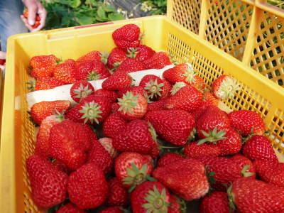 熊本産高級イチゴ『完熟紅ほっぺ』2020年はレギュラーパック3月末発送分、平積みパック4月中旬まで!_a0254656_17303781.jpg