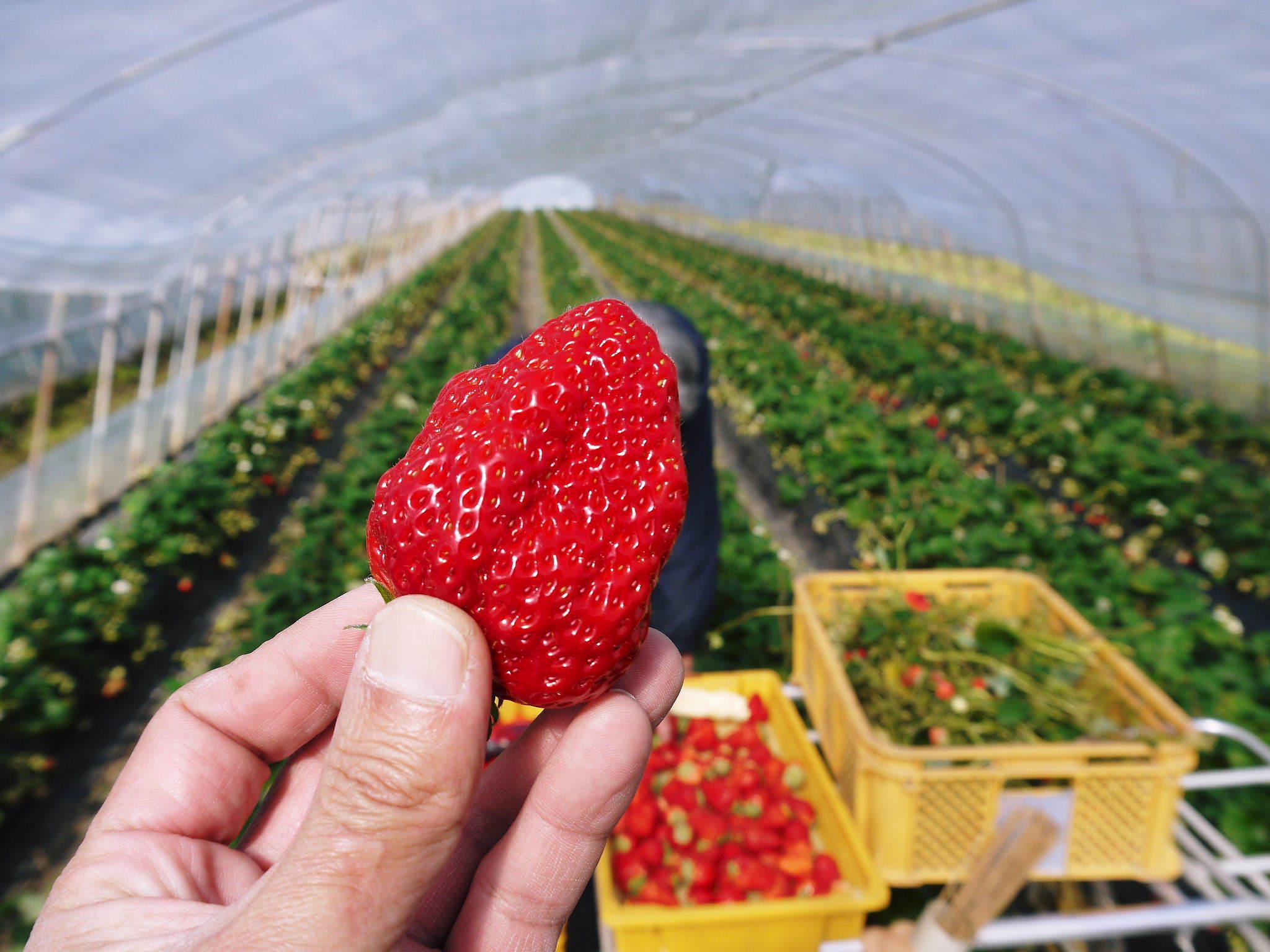 熊本産高級イチゴ『完熟紅ほっぺ』2020年はレギュラーパック3月末発送分、平積みパック4月中旬まで!_a0254656_17455296.jpg