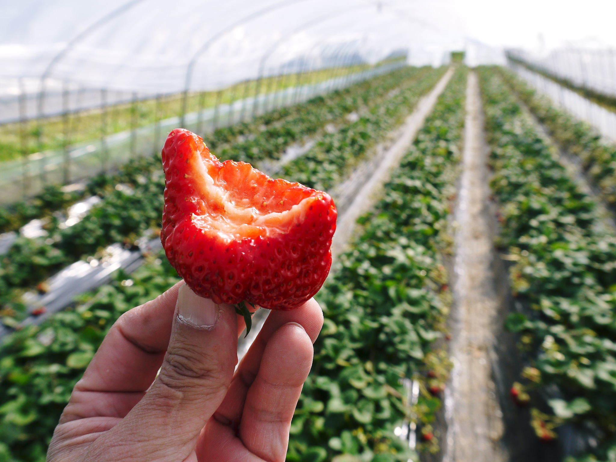 熊本産高級イチゴ『完熟紅ほっぺ』2020年はレギュラーパック3月末発送分、平積みパック4月中旬まで!_a0254656_17464137.jpg