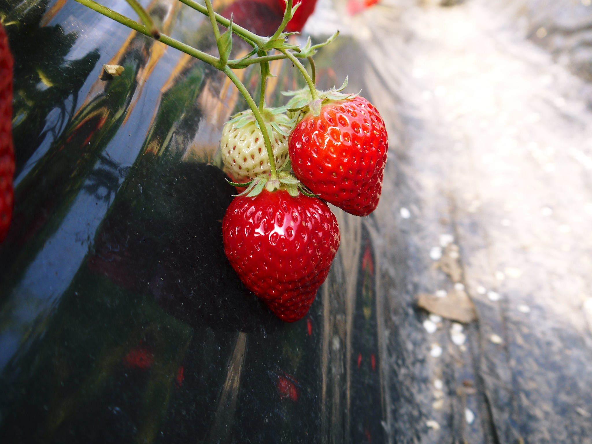 熊本産高級イチゴ『完熟紅ほっぺ』2020年はレギュラーパック3月末発送分、平積みパック4月中旬まで!_a0254656_17482422.jpg