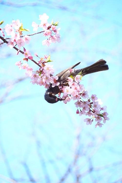 ヒヨドリと桜_a0292060_13533051.jpg