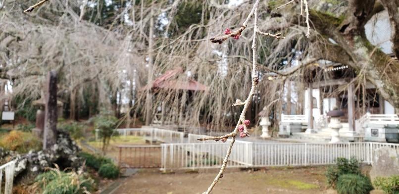 それでも桜は咲く🌸_d0177266_11352918.jpg