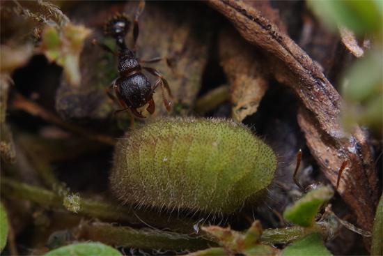 アリとヤマトシジミの幼虫_e0167571_193113100.jpg