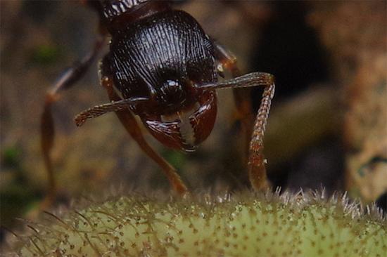 アリとヤマトシジミの幼虫_e0167571_1932317.jpg