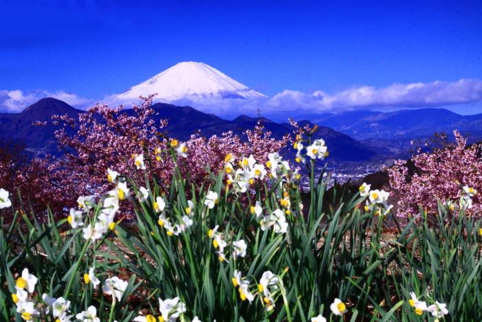 令和2年2月の富士 (28) おおい夢の里の水仙と富士_e0344396_15290337.jpg