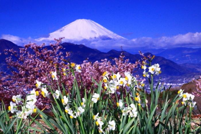 令和2年2月の富士 (28) おおい夢の里の水仙と富士_e0344396_15375862.jpg