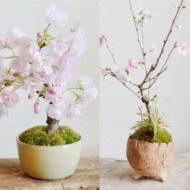 桜・草花盆栽展 vol.8_d0263815_16283457.jpg