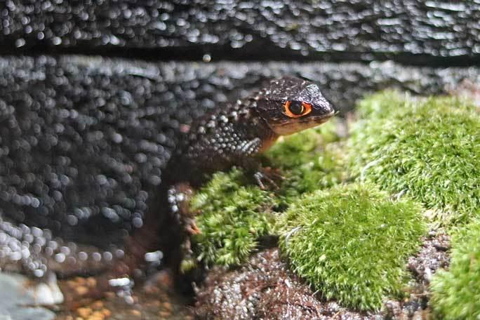 アクアパーク品川~アクアジャングルの両生爬虫類 その3_b0355317_21345145.jpg