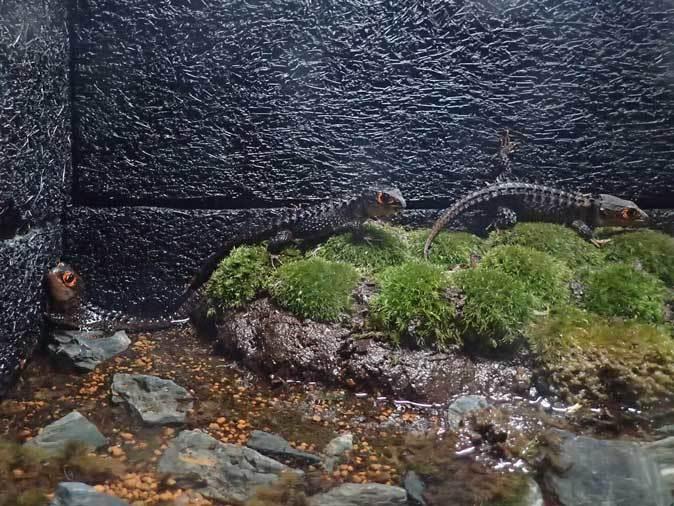 アクアパーク品川~アクアジャングルの両生爬虫類 その3_b0355317_21375032.jpg