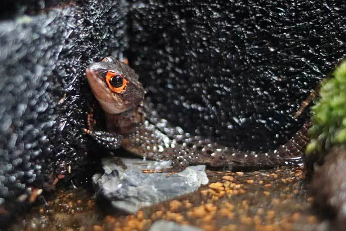 アクアパーク品川~アクアジャングルの両生爬虫類 その3_b0355317_21390007.jpg