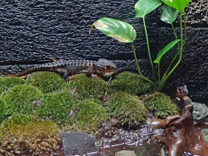 アクアパーク品川~アクアジャングルの両生爬虫類 その3_b0355317_21465171.jpg