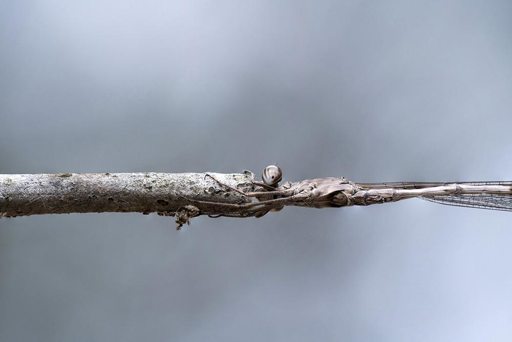 越冬トンボ観察-24 オツネントンボ(栃木-6)繁殖水域への移動確認_f0324026_08084214.jpg
