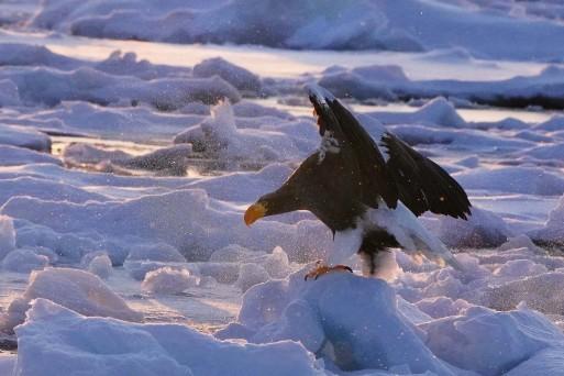冬の道東行ってきました#1流氷のオオワシ_b0346055_11304201.jpg