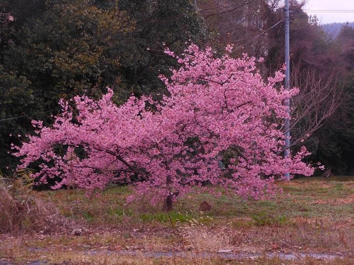 桃か早咲桜か、満開で春の訪れを告げ_e0175370_20263916.jpg