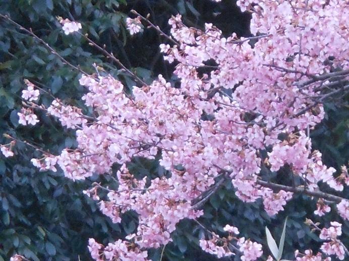 桃か早咲桜か、満開で春の訪れを告げ_e0175370_20264760.jpg