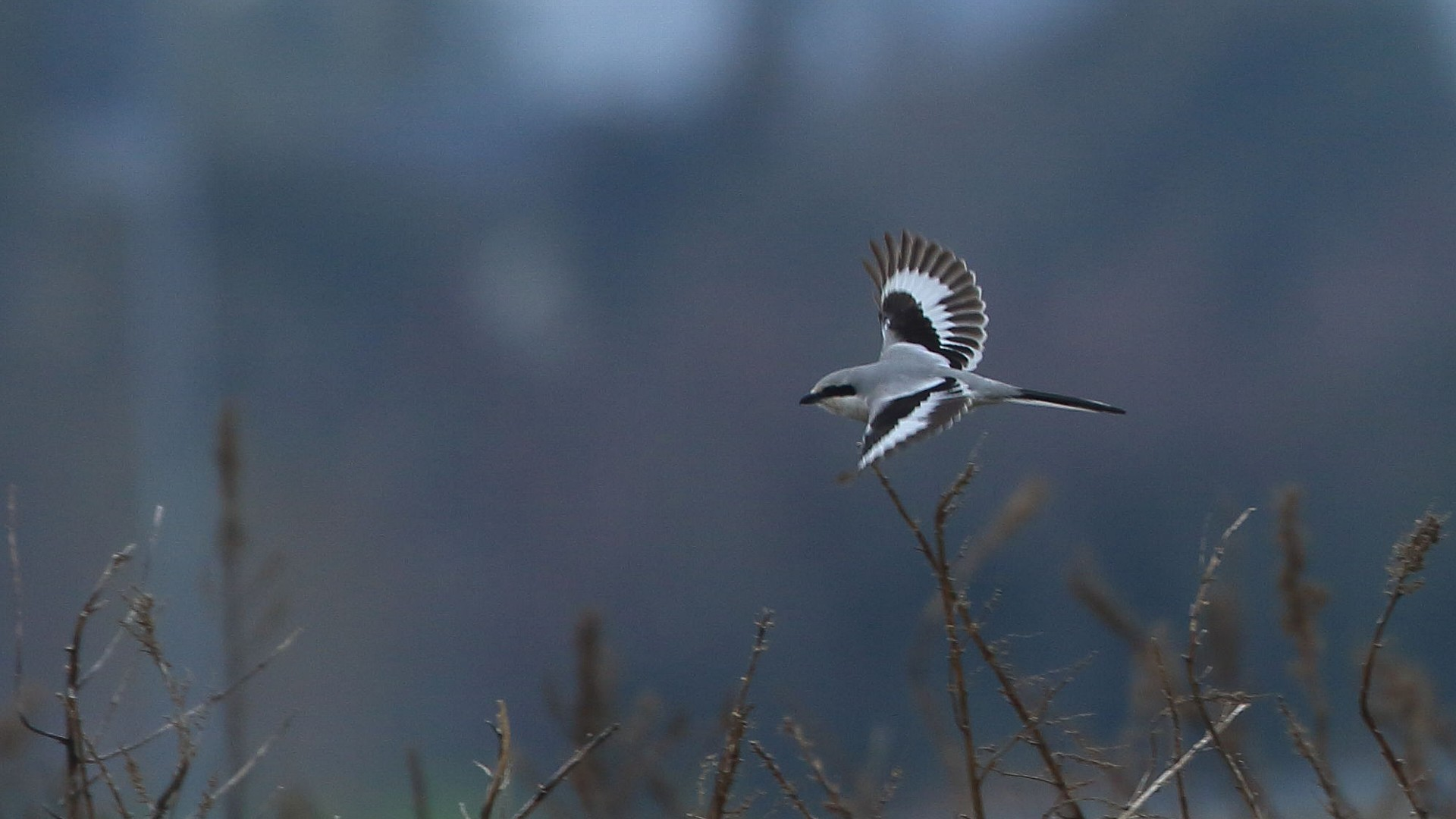 2度目の珍鳥:オオカラモズ_f0105570_21263211.jpg