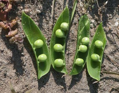 極早生エンドウはもうすぐ収穫です_f0018078_17003359.jpg