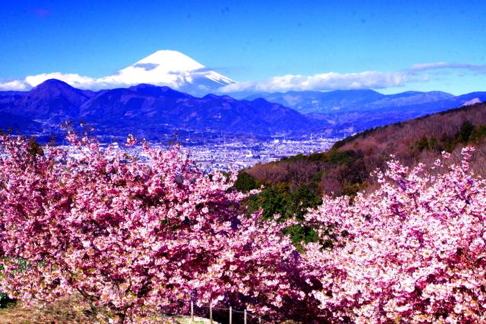 令和2年2月の富士 (29) おおい夢の里の河津桜と富士_e0344396_18165937.jpg