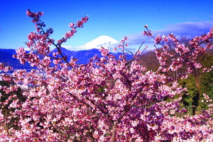 令和2年2月の富士 (29) おおい夢の里の河津桜と富士_e0344396_18165948.jpg