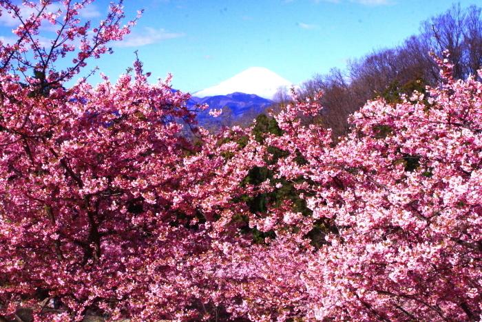 令和2年2月の富士 (29) おおい夢の里の河津桜と富士_e0344396_18170047.jpg