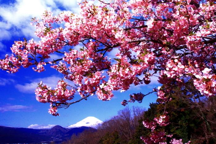 令和2年2月の富士 (29) おおい夢の里の河津桜と富士_e0344396_18170057.jpg