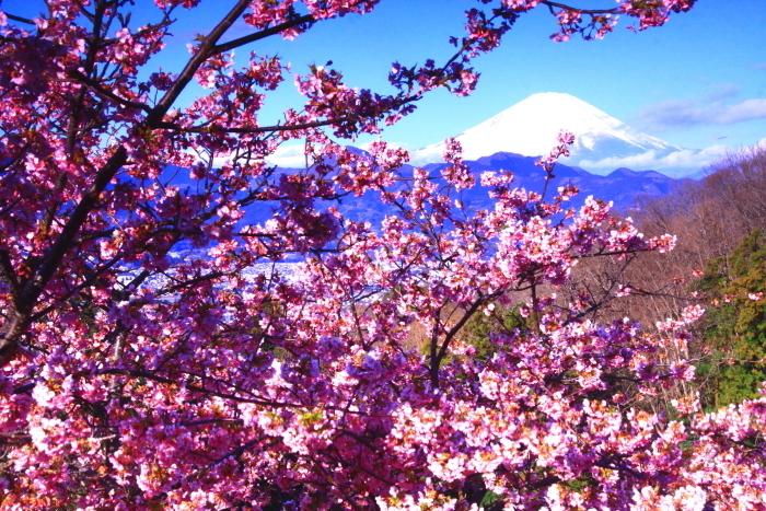 令和2年2月の富士 (29) おおい夢の里の河津桜と富士_e0344396_18170098.jpg