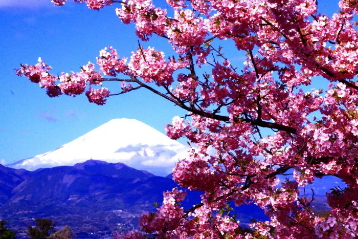 令和2年2月の富士 (29) おおい夢の里の河津桜と富士_e0344396_18170175.jpg
