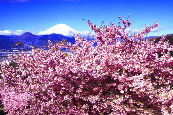 令和2年2月の富士 (29) おおい夢の里の河津桜と富士_e0344396_18170177.jpg
