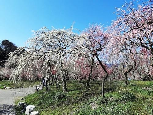 2020 お花見 その3 梅林公園_f0129726_20115156.jpg
