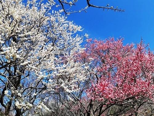 2020 お花見 その3 梅林公園_f0129726_20115352.jpg