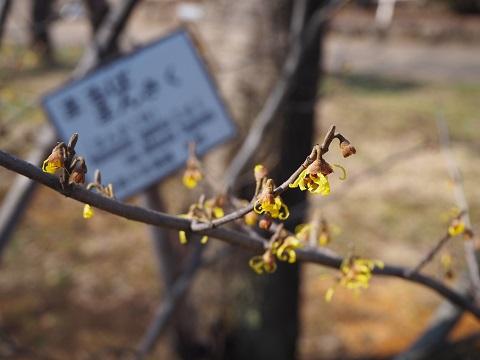 弘前公園のマルバマンサク_2020.03.08_d0131668_10211223.jpg